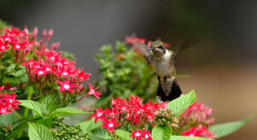 Photo in Animal #humming bird #humming bird in flight #humming bird and fowers