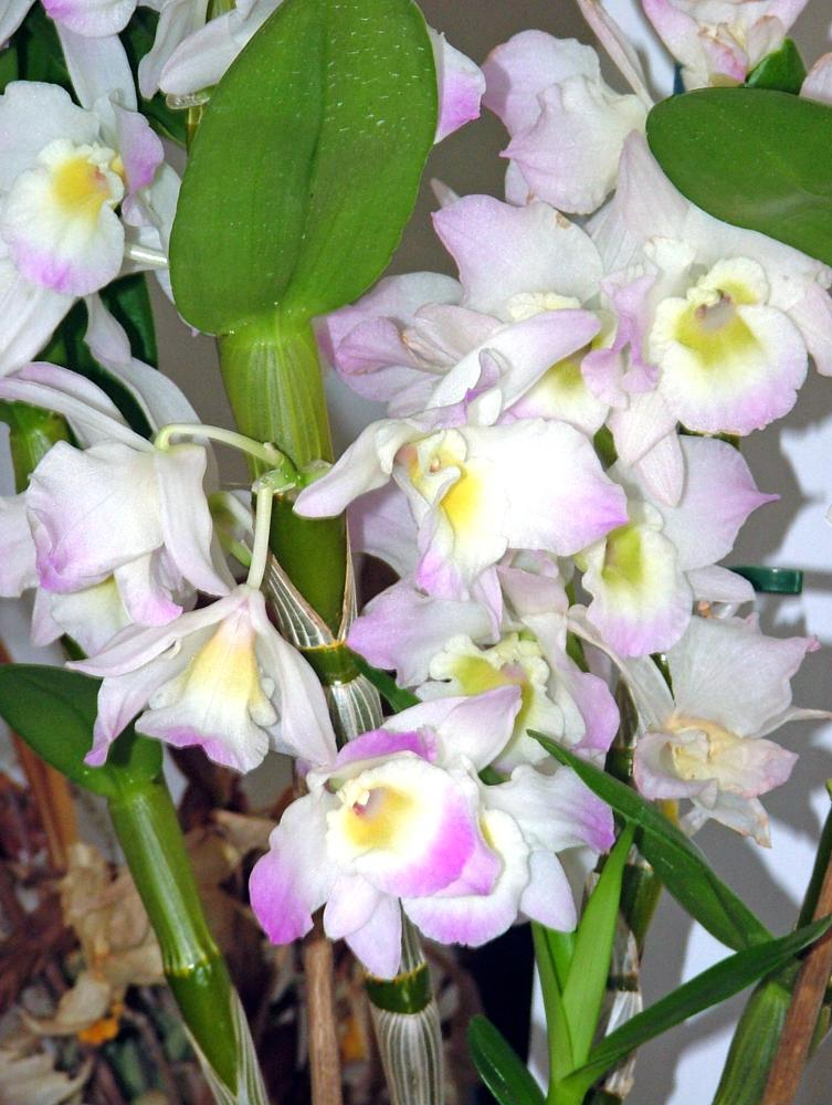Photo in Macro #dendrobium #orchids #orchidee #flowers #macro
