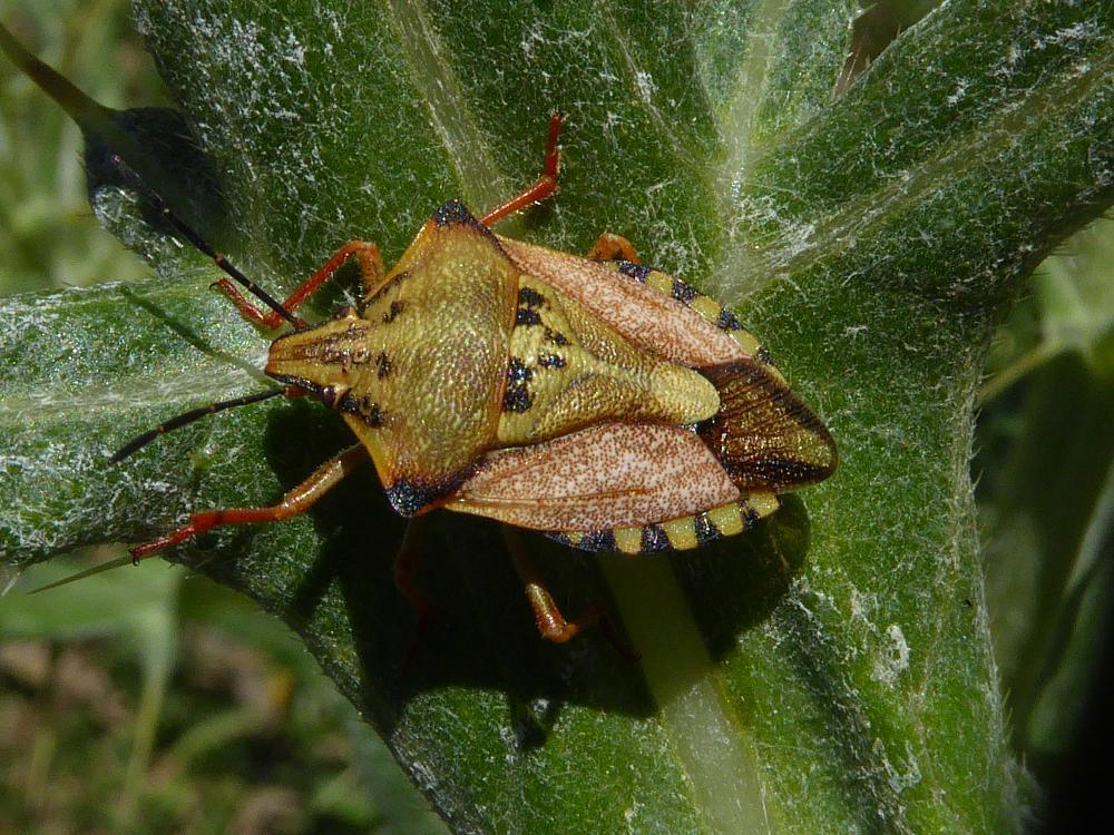 Photo in Animal #carpocoris pudicus #insects #insetti