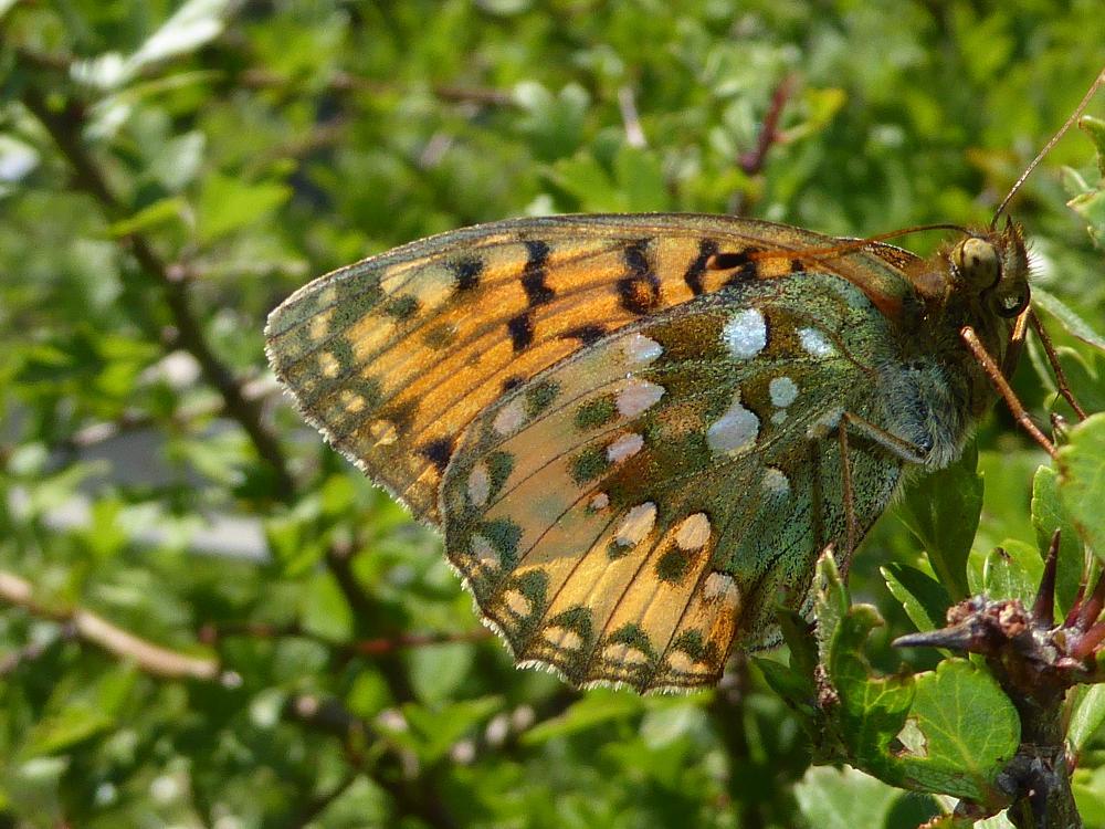Photo in Animal #argynnis #farfalla #butterfly