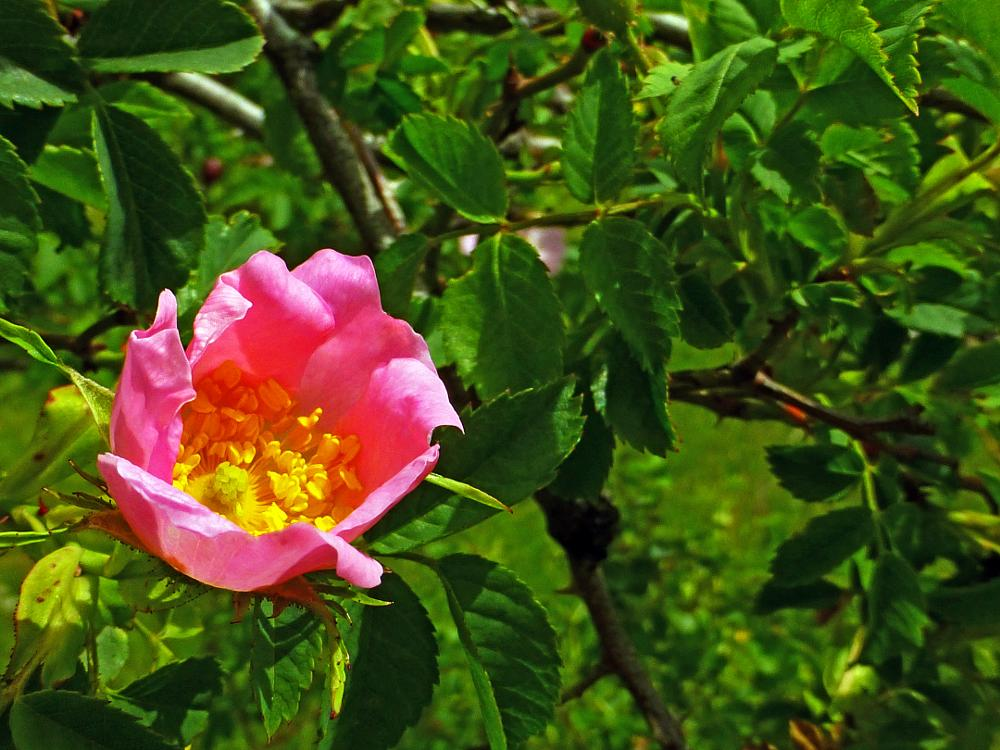 Photo in Nature #rosa salvaje #wild flowers #flores silvestres