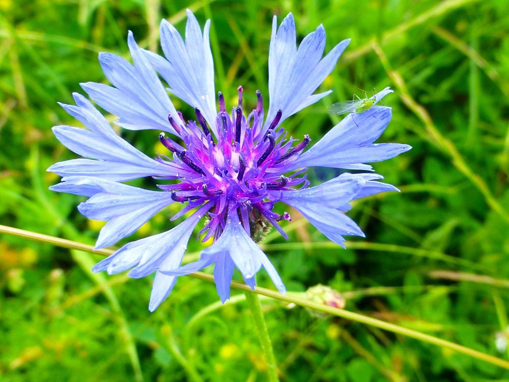 Photo in Nature #centaurea cyanus #afide verde #flores silvestres #wild flowers
