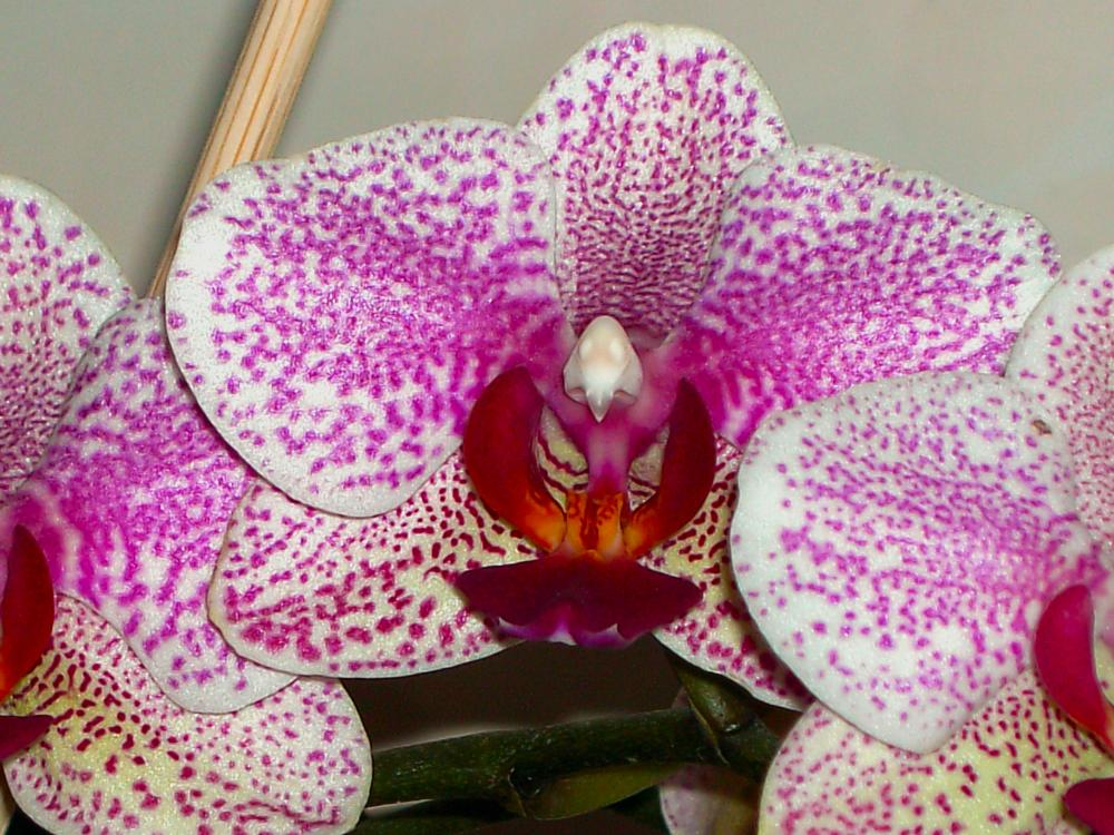 Photo in Nature #phalaenopsis #orchids #orchidee