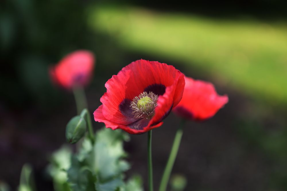 Photo in Nature #vallmo #poppy #garden #flower