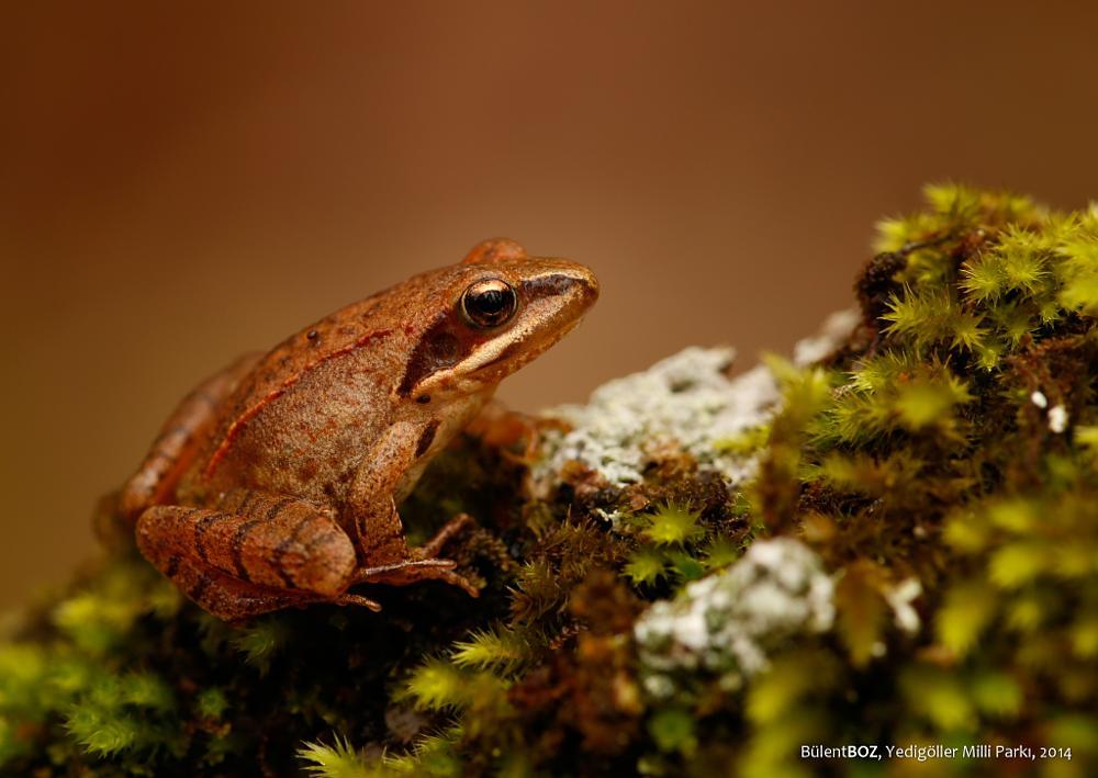 Photo in Macro #rana dalmatina #frog