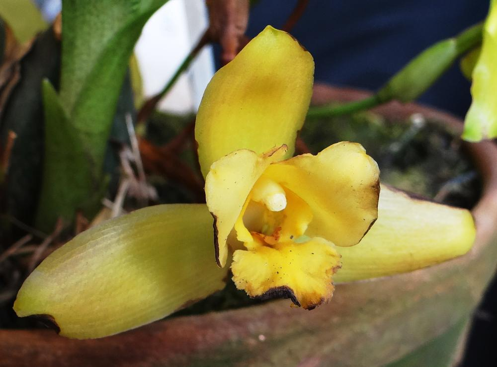 Photo in Macro #orchids #flowers #guatemala