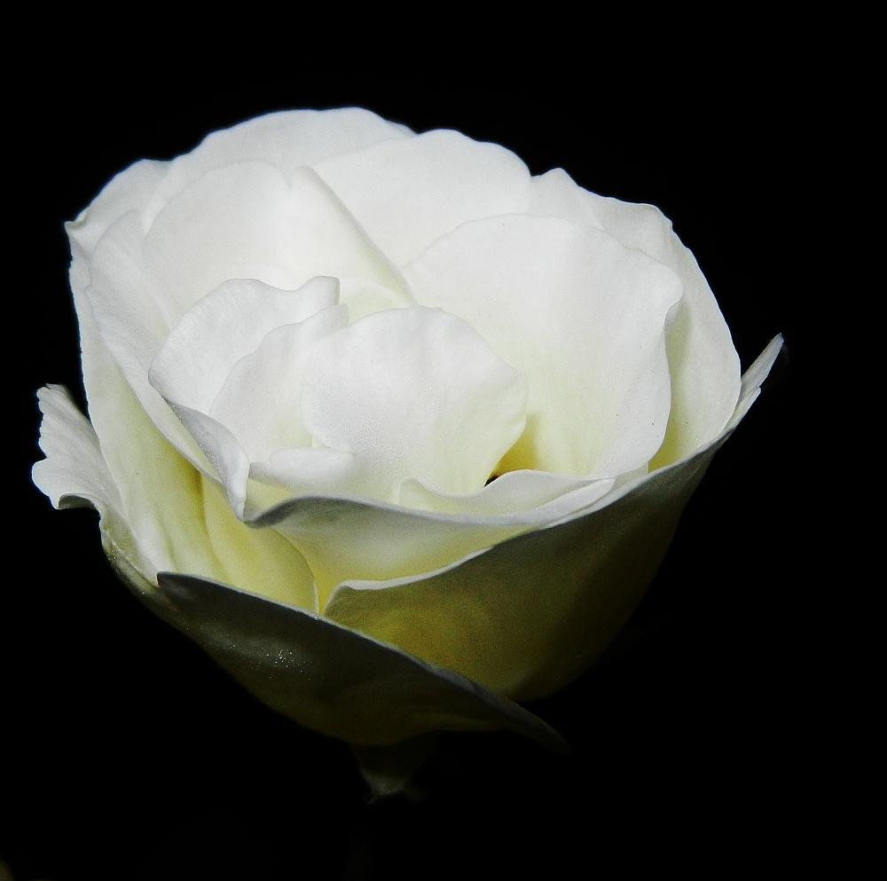Photo in Macro #roses #flowers #white
