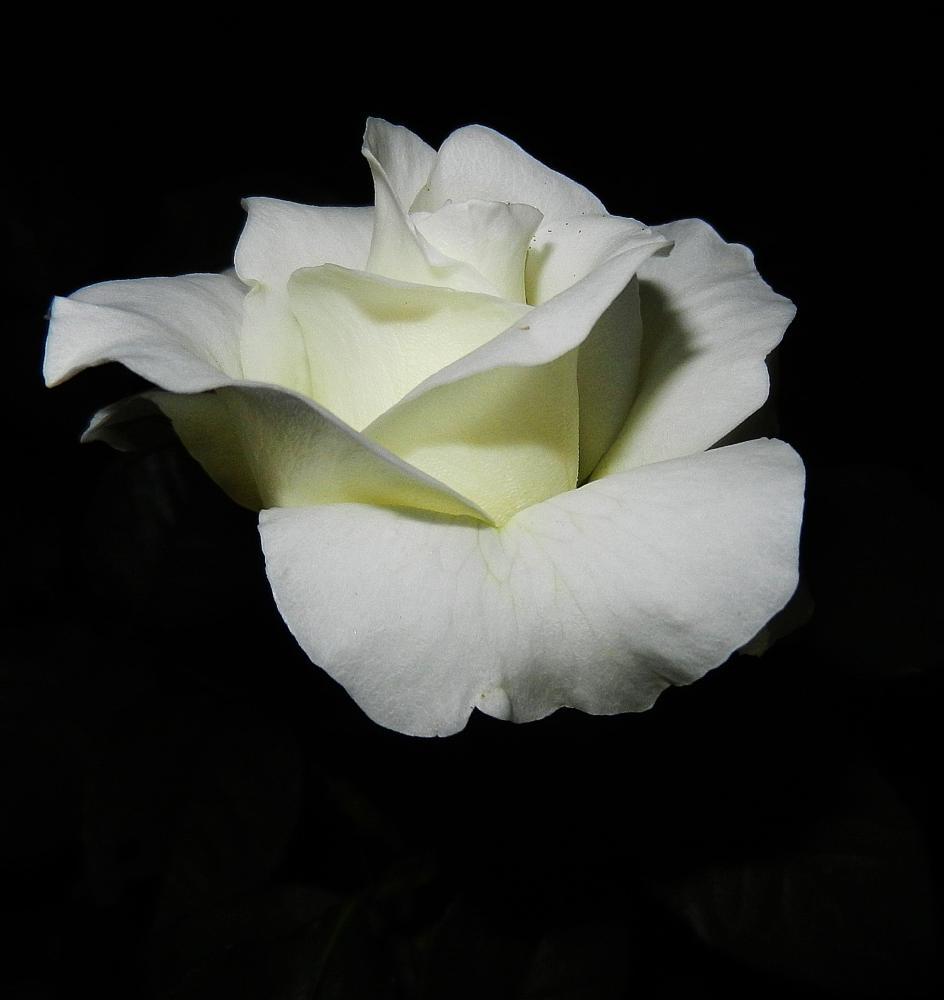 Photo in Macro #roses #flowers #nature