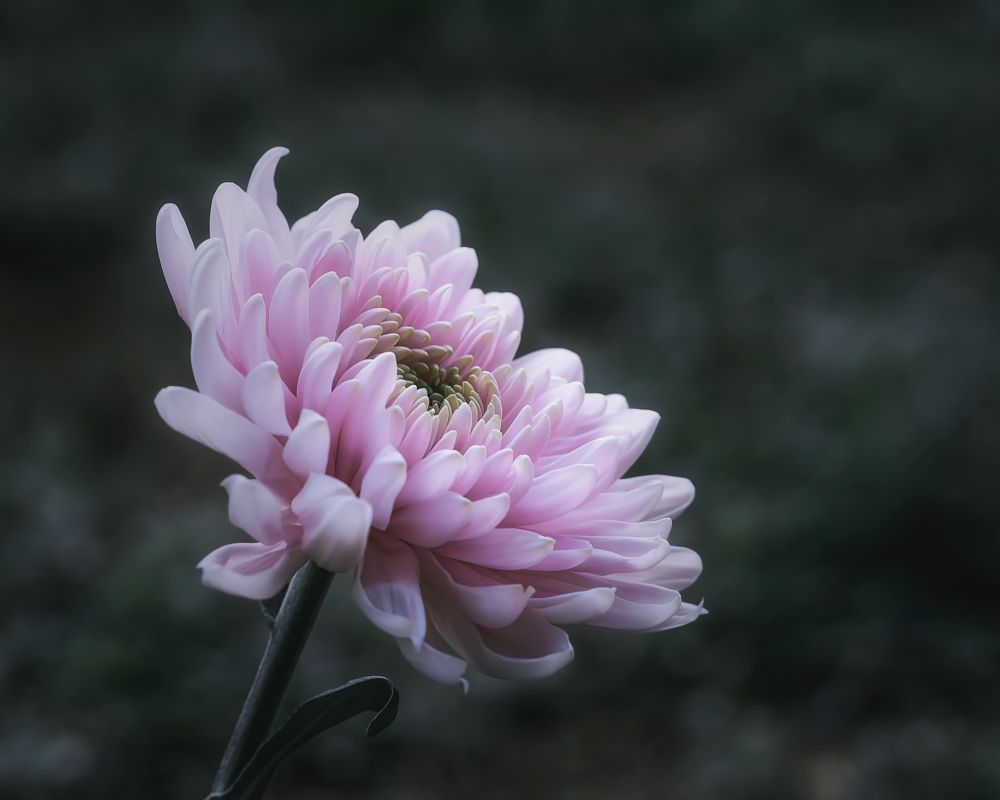 Photo in Still Life #pink #flower #outdoors #natural light #close up