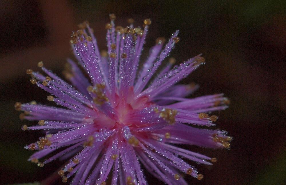 Photo in Macro #dew #drops #dew drops #halpatiokee regional park #park #halpatiokee #stuart #florida #wildflower #flower #martin county #olympus #e-620 #4th of july