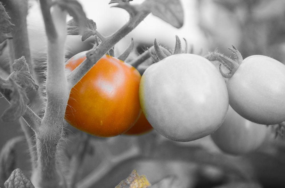 Photo in Nature #tomatoe #ripening #garden