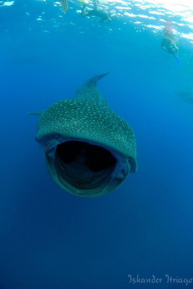 Photo in Underwater #shark #nature #underwater #whaleshark