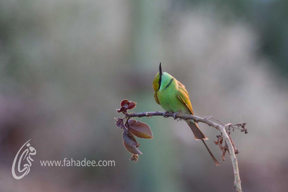 Photo in Animal #green bee eater #karachi #fahadee #birds #pakistan #green