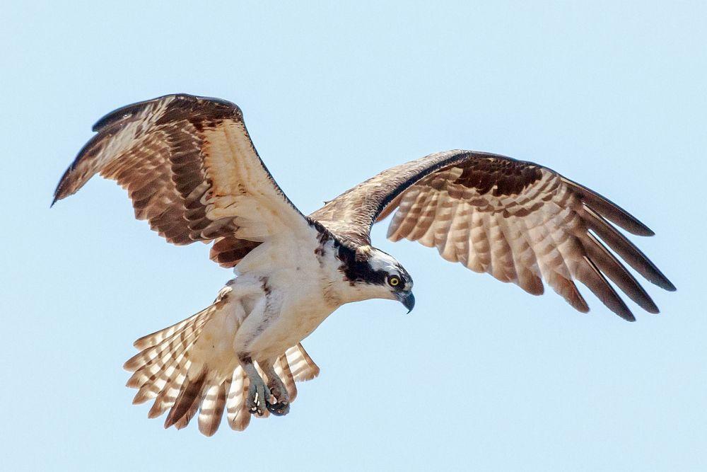 Photo in Animal #osprey #bird #bird of prey #wildlife #nature #wings #flying #animal