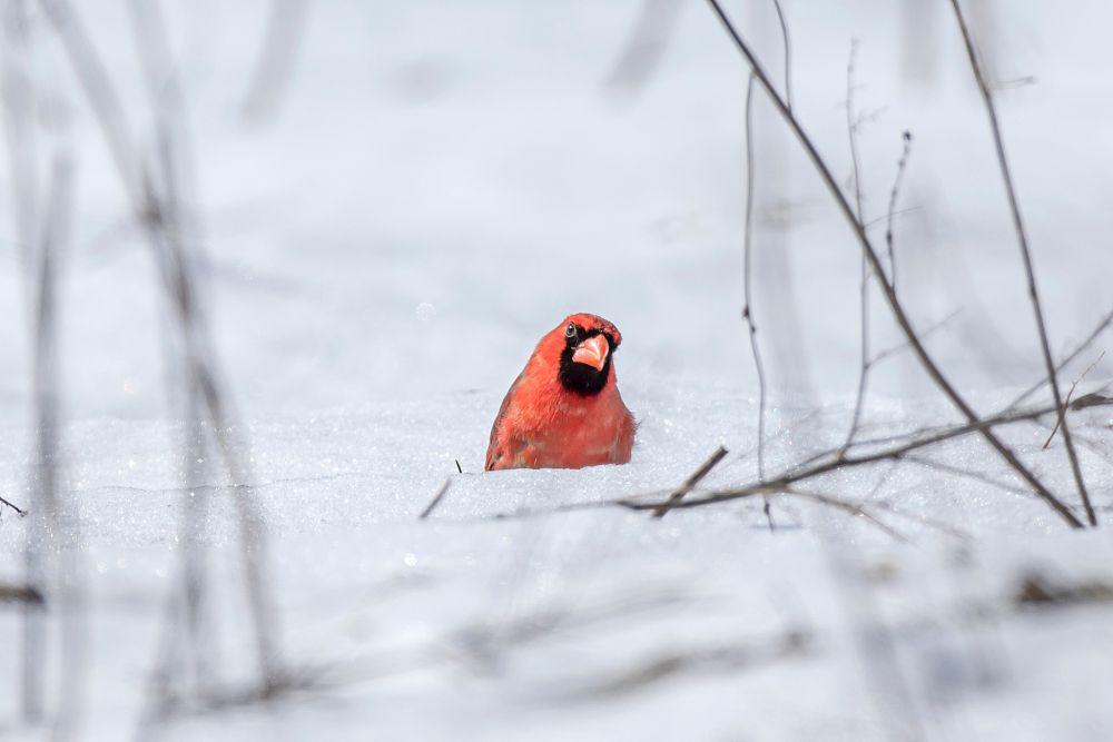 Photo in Animal #cardinal #red #bird #animal #small bird #nature #wildlife #snow #white