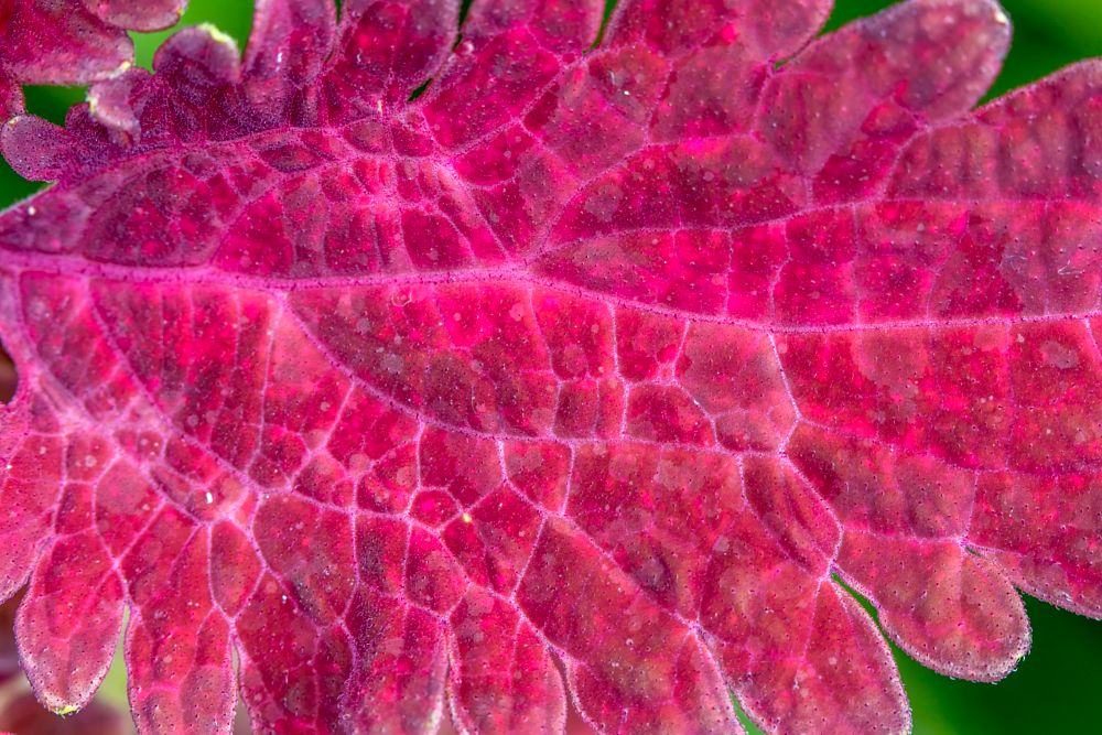 Photo in Macro #flower #garden #pink #red #green #veins #macro #close up #nature