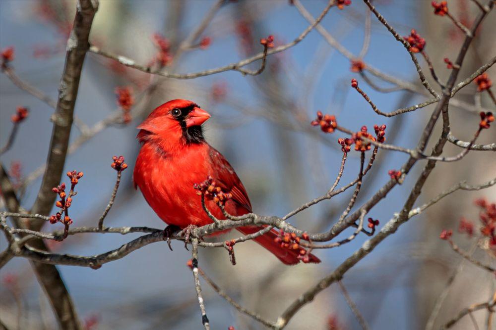 Photo in Animal #cardinal #red #bird #small bird #animal #nature #wildlife #branch