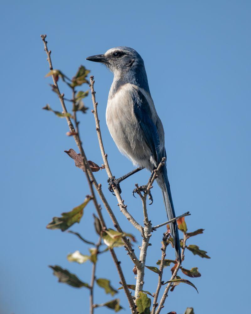 Photo in Animal #scrub jay #bird #animal #wildlife #nature #perch #florida