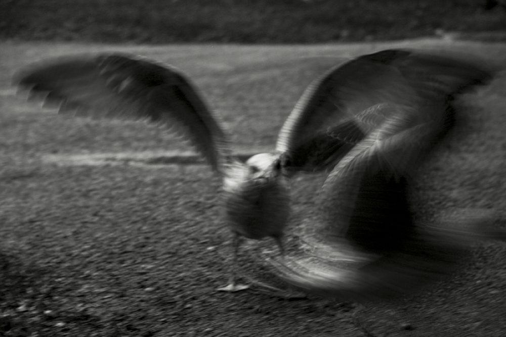 Photo in Street Photography #angry #bird #black and white #street #rusova anna #canon #rusova_anna