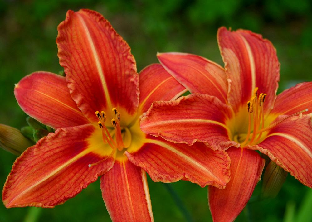 Photo in Nature #day lily #garden #close up #nature #orange