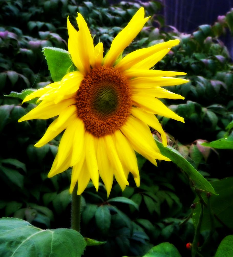 Photo in Nature #garden #sunflower #nature