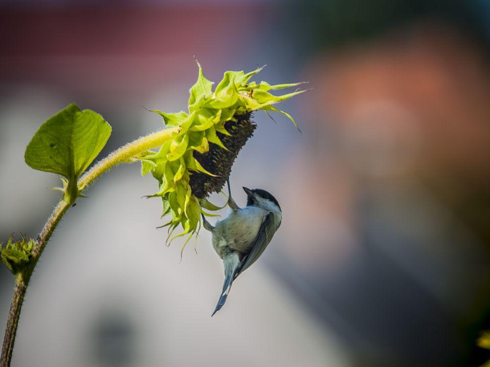 Photo in Animal #breakfast #chickadee