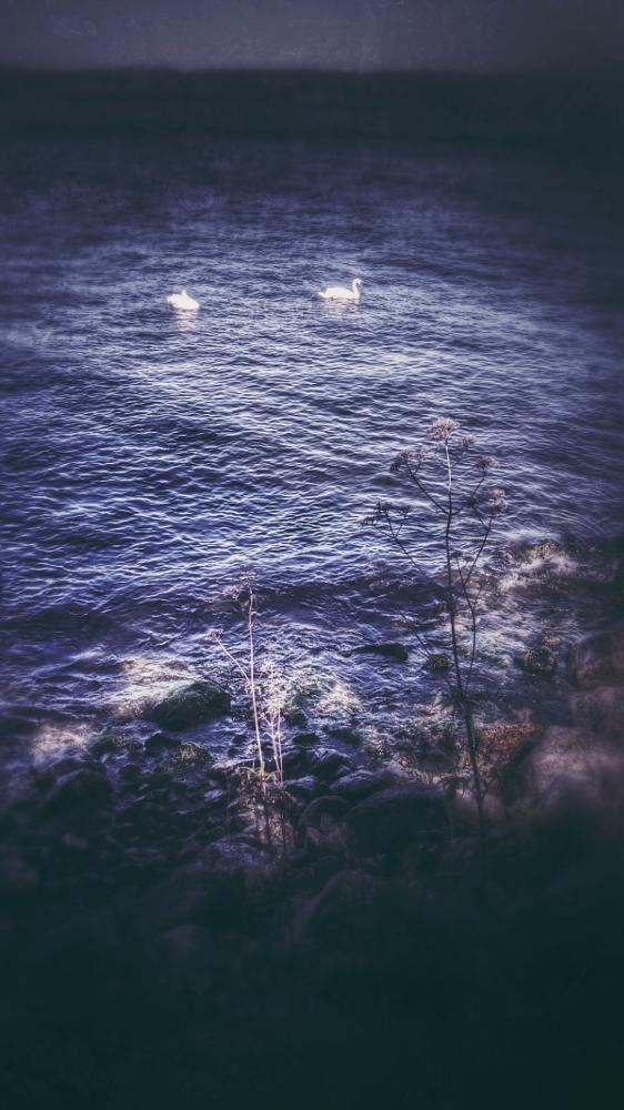 Photo in Random #swans #lake #djurgården #stockholm