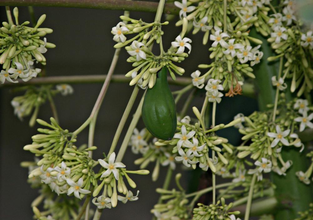 Photo in Food #papaya blossoms #papaya #blossoms #tree #plant #nature #fruit