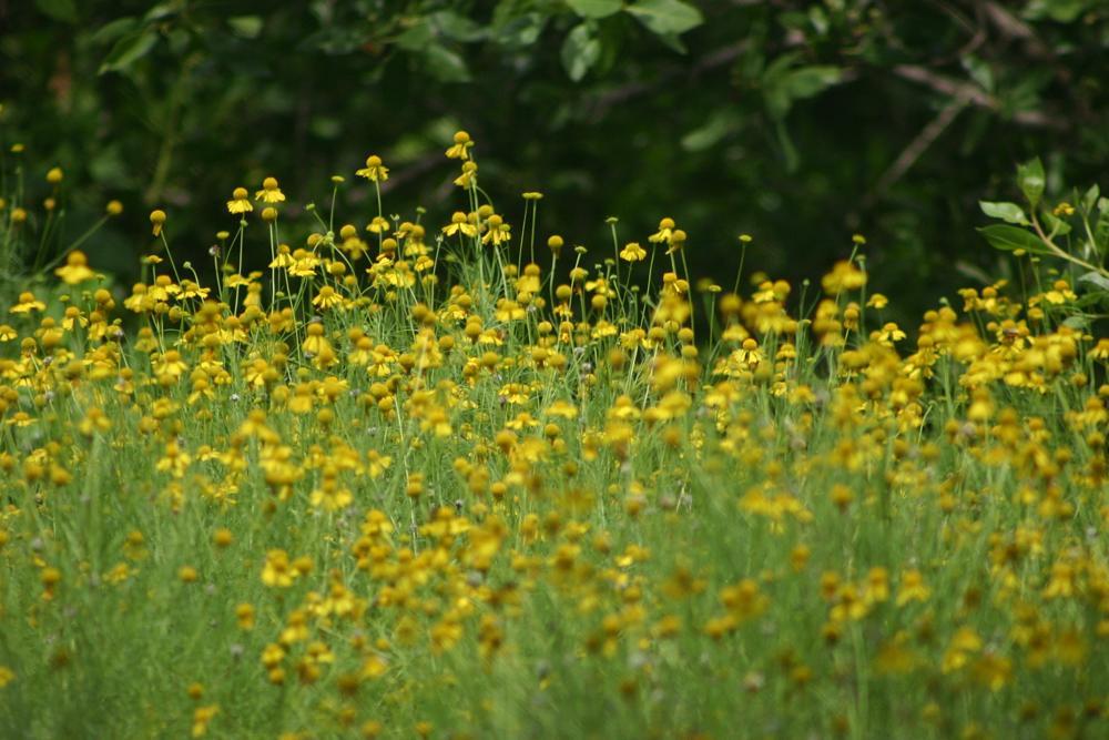 Photo in Landscape #daisy #flower #nature #landscape