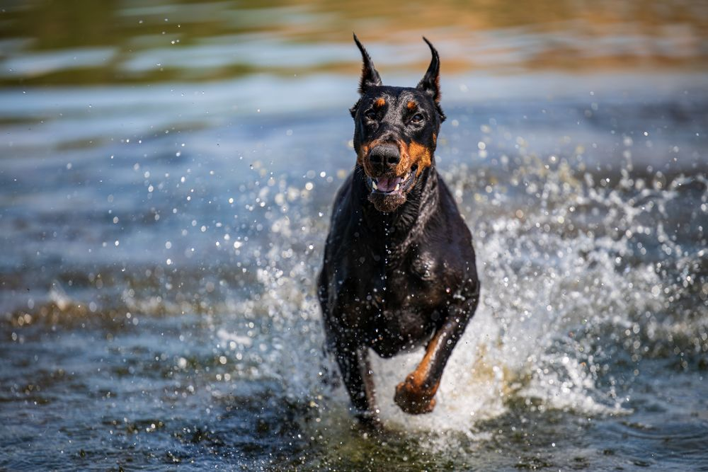 Photo in Random #dog #water #doberman