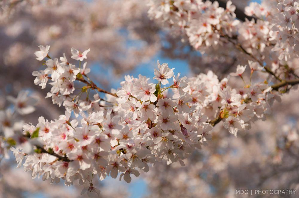 Photo in Nature #blossom #spring #sakura #pink #flower #cherry blossom