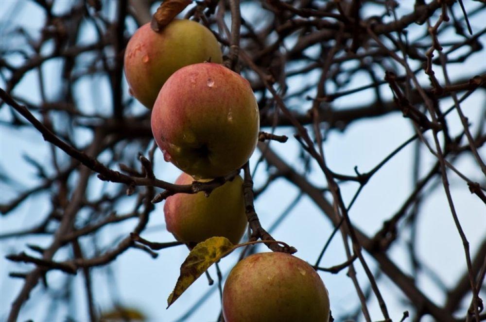 Photo in Random #apples #äpplen