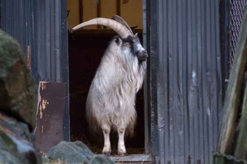 Photo in Random #goat #get