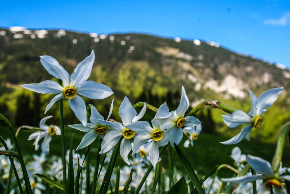 Photo in Nature #karavanke #slovenia #javorniški rovt #white daffodils