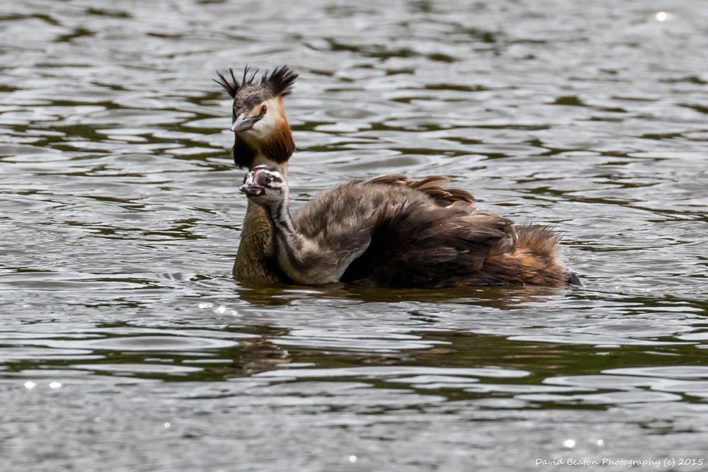 Photo in Animal #grebe #stover #devon