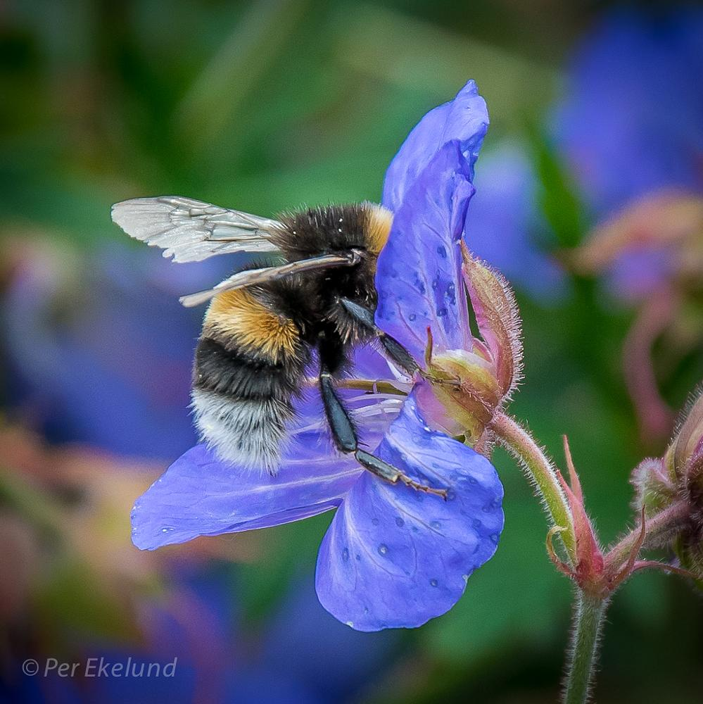 Photo in Nature #bumble bee #close up #nature