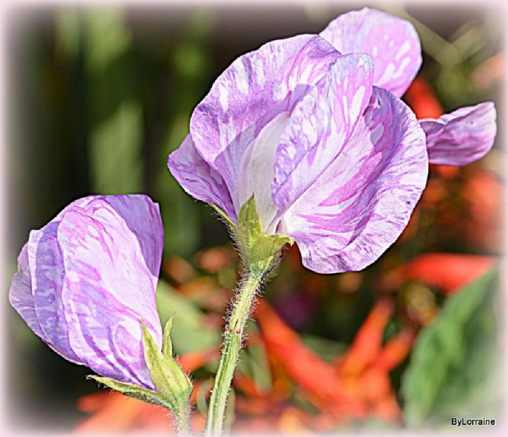 Photo in Macro #pea #flower #marbled #macro