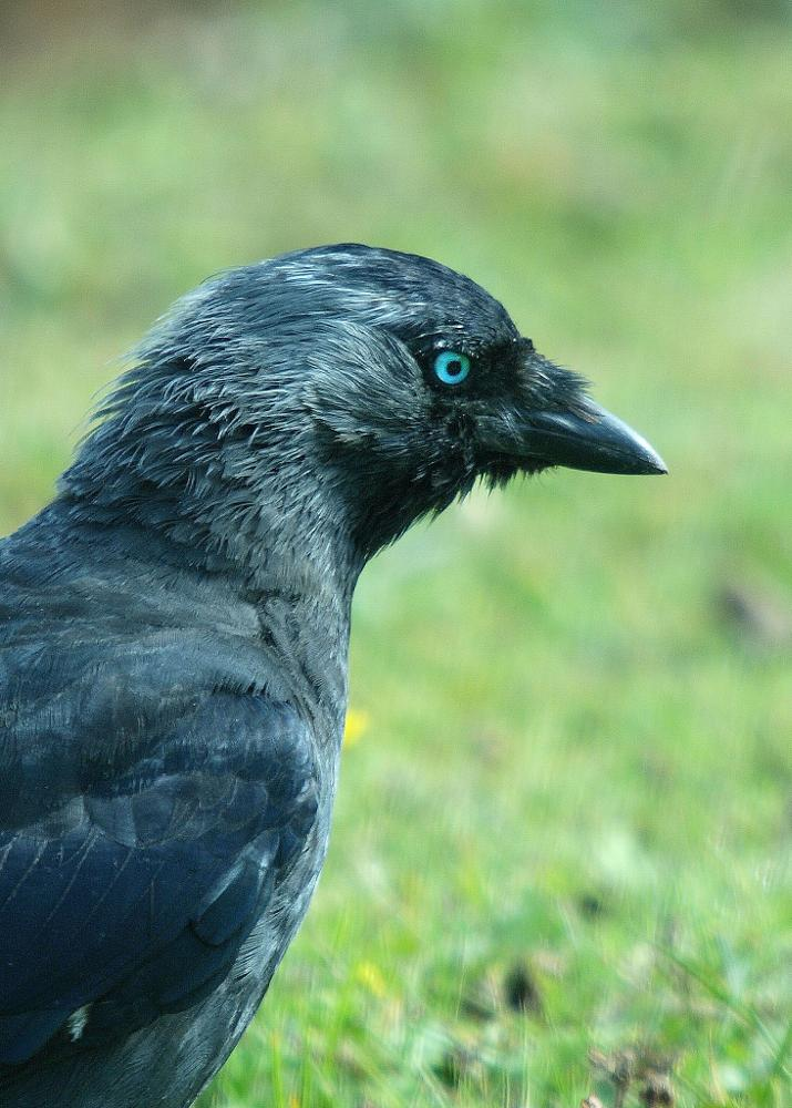 Photo in Nature #corvid #jackdaw #black #blue eye