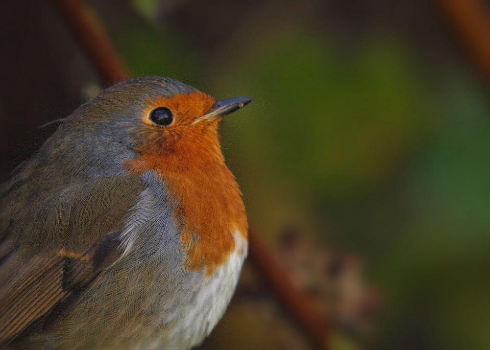 Photo in Nature #robin #red #breast #bird #freindly