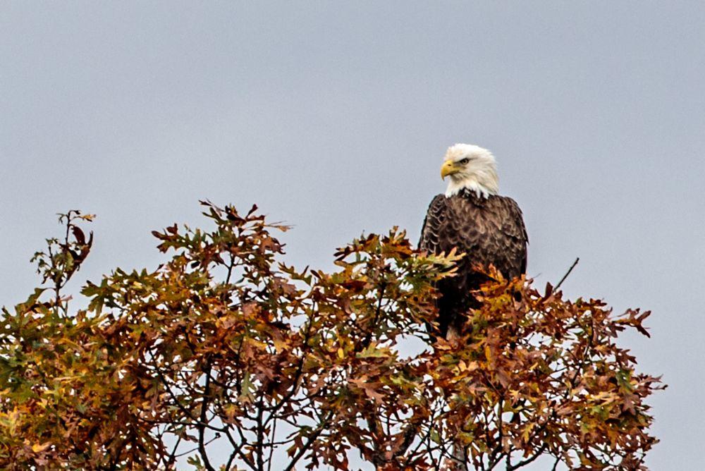 Photo in Random #bald eagle #bird #nature #autumn