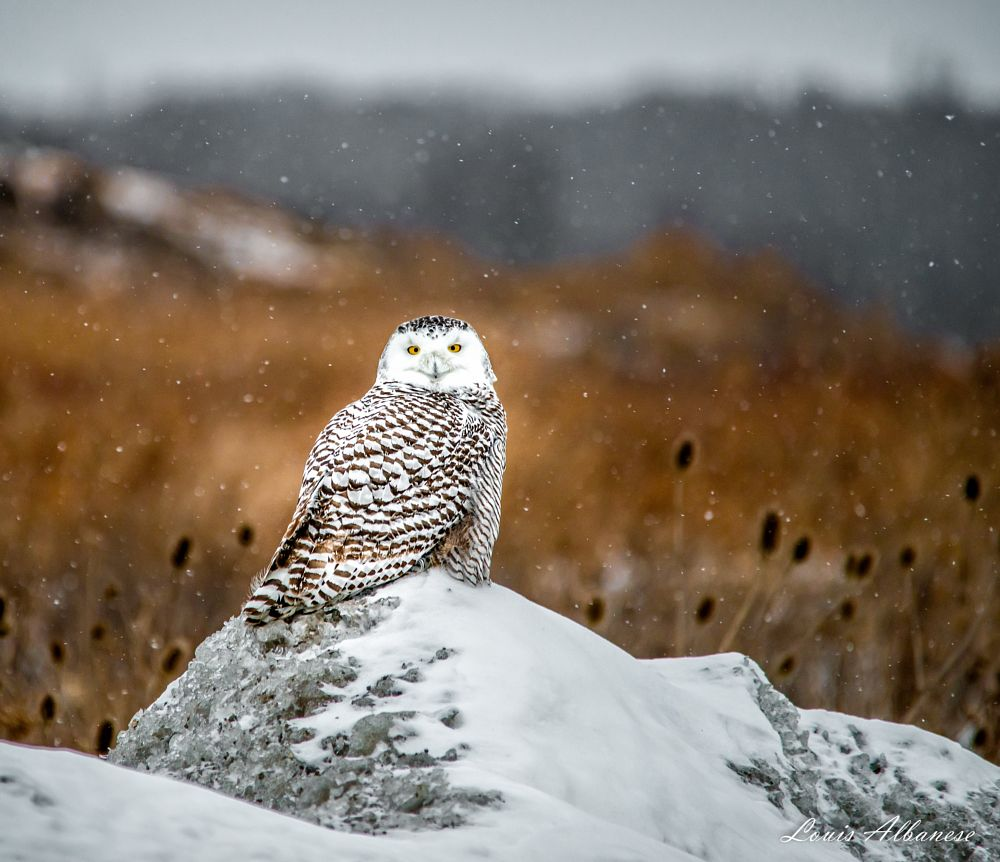 Photo in Nature #owl #snowy owl #female snowy owl #welland #ontario #canada #niagara #winter #raptor