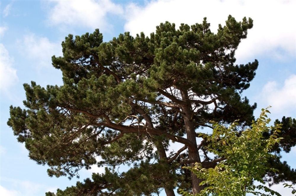Photo in Random #pine #tall