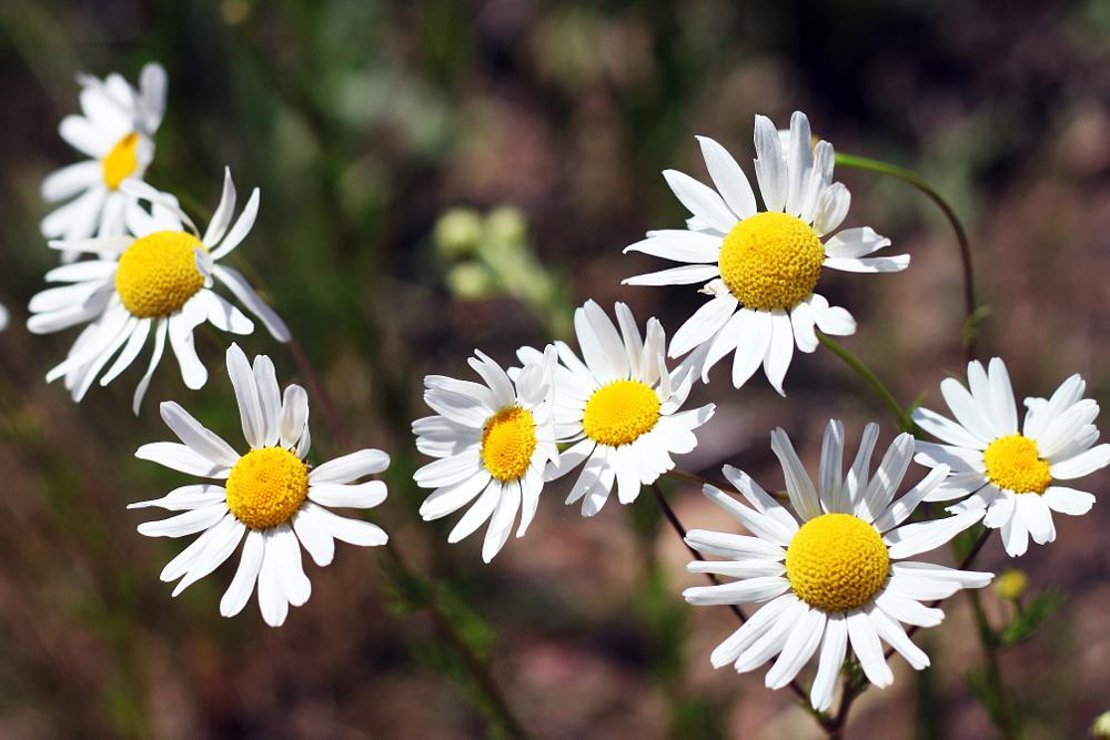 Photo in Nature #daisy #flower #pretty #wildflowers