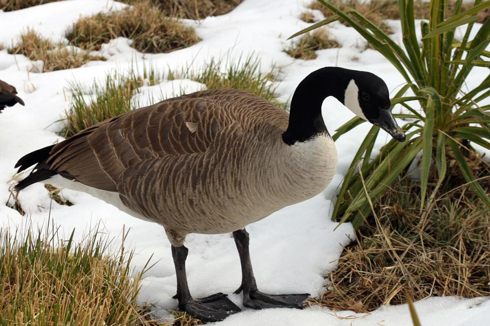 Photo in Nature #goose #bird #snow #geese