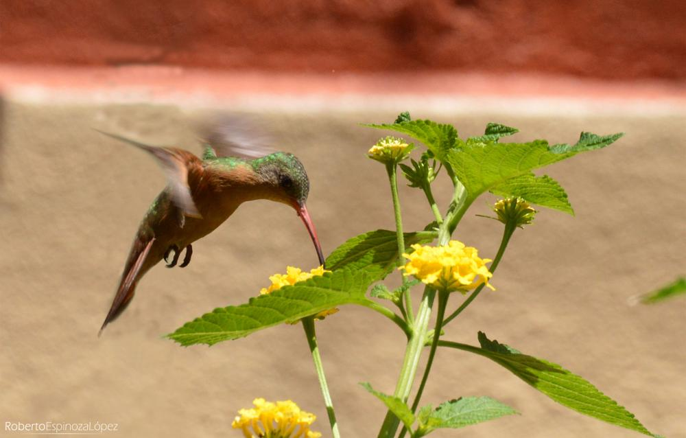 Photo in Animal #colibrí #aves #photo #photography #nicaragua
