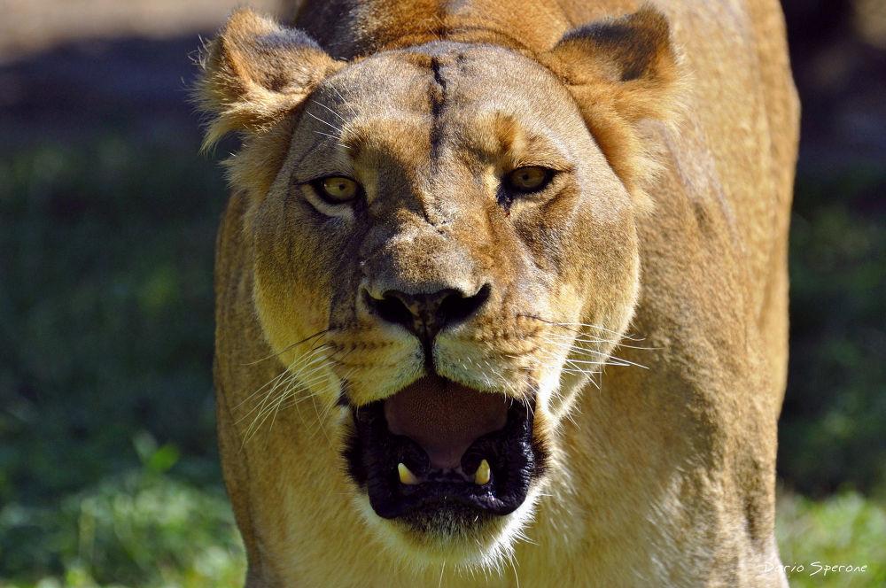 Photo in Random #leoni #animali #felini #nikon #photography