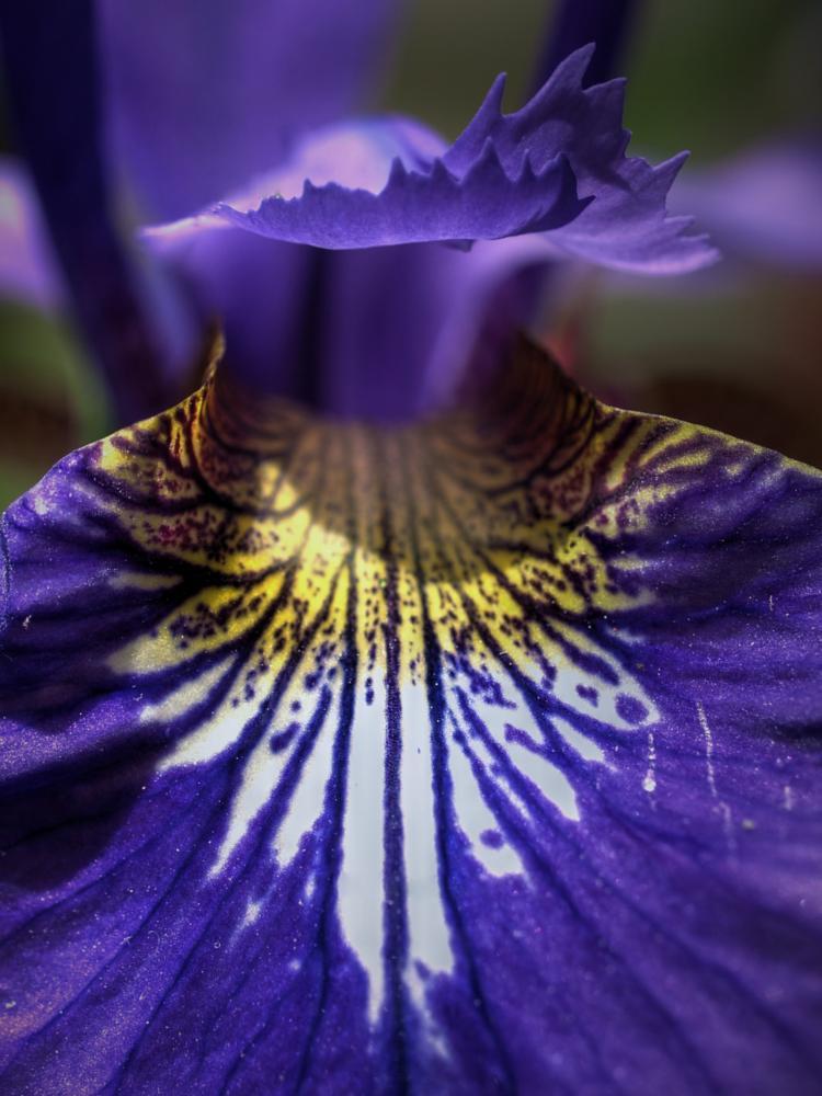 Photo in Nature #iris #flower #nature #spring #macro