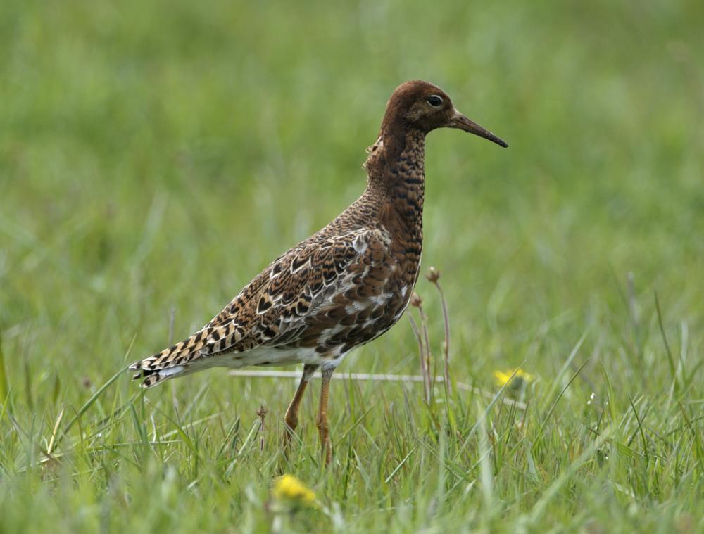 Photo in Animal #ruff #bird #wader #nature #wetland
