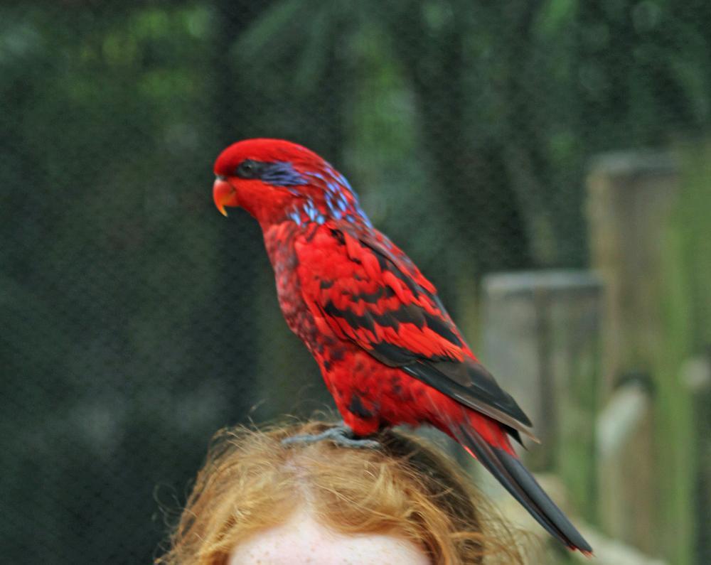 Photo in Animal #red #parrot #bird #busch gardens #zoo #wildlife