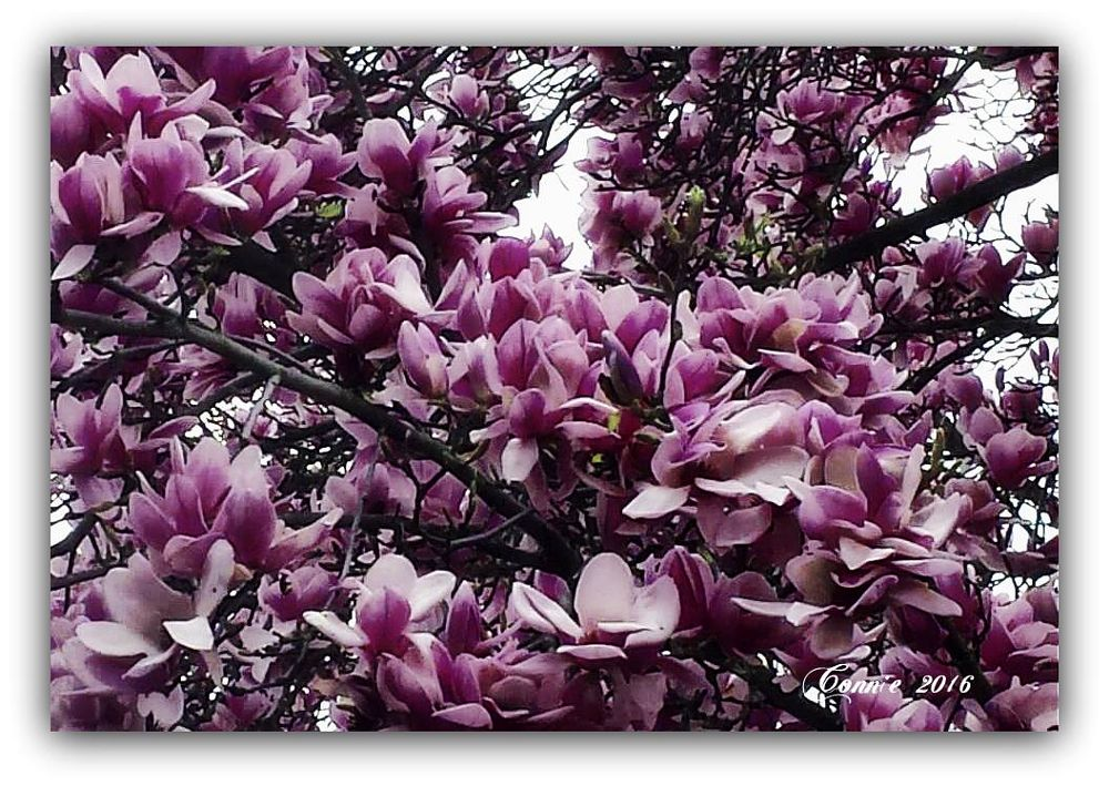 Photo in Nature #pink #tree flowers